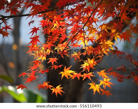 The beautiful and colorful autumn leaves with the warm sunlight