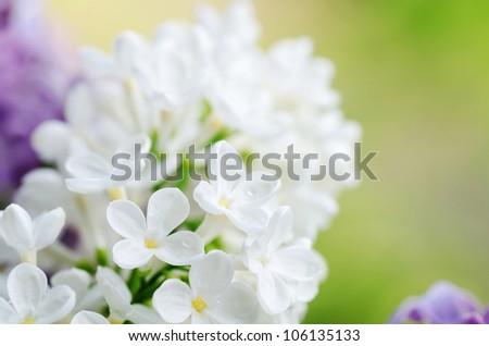 The beautiful white  lilac as a background
