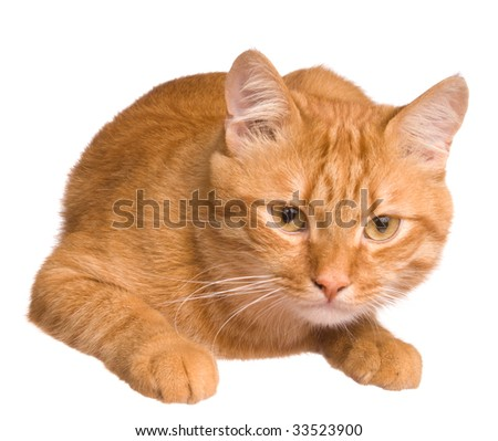 The big red cat on white background