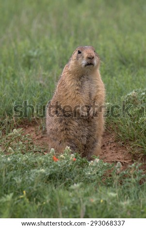The black-tailed prairie dog (scientific name Cynomys ludovicianus), Wyoming, USA
