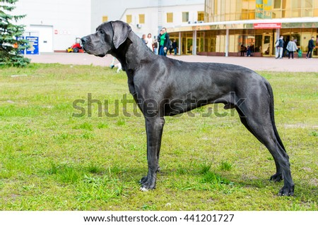 The Blue color  Great Dane waits on the grass.