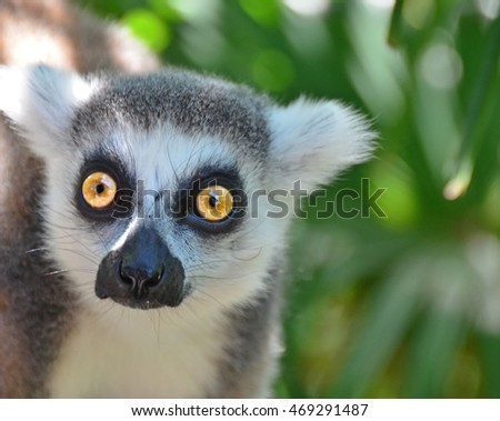 The bright eyes of a ring-tailed Lemur