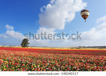 The bright striped balloon flies over a field of multi-colored garden buttercups. Spring day in Israel