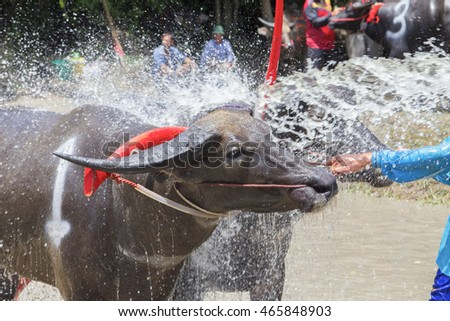 The buffalos taking a bath while waiting to compete in the Buffalo Racing Festival at Chonburi in Thailand. The Buffalo Racing Festival is a tradition of Chonburi.