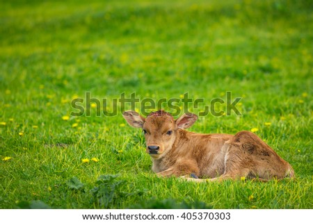 The calf lying on the green grass.