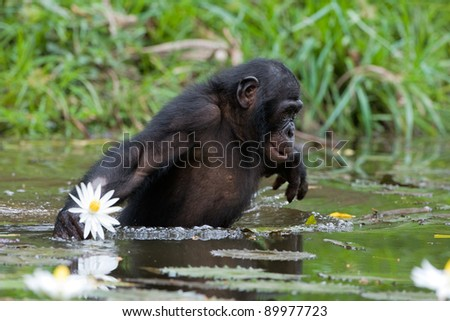 The chimpanzee collects flowers. The chimpanzee costs in water and tries to keep step with a lily flower