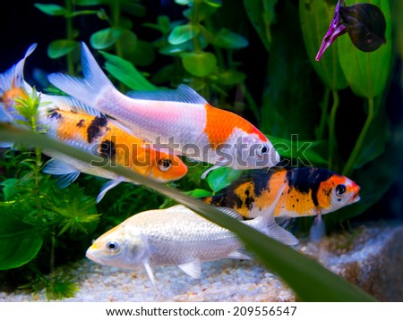 Koi fish swimming pond carp stock photo 600062417 for Colorful pond fish