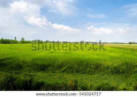 The cornfield in Thailand