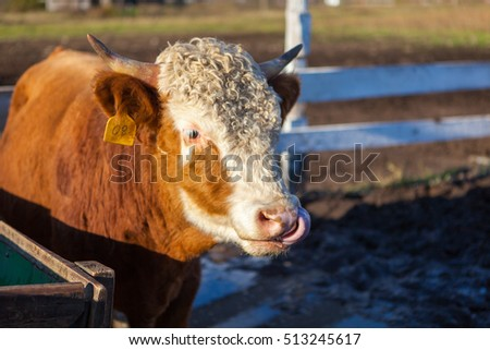 The cow flicked out its tongue