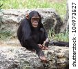 The cub of a chimpanzee sitting on a rock at the zoo - stock photo
