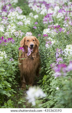 The cute golden retriever in the flowers
