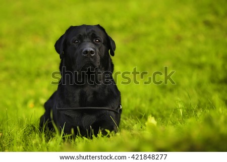 the dog is a purebred black Labrador Retriever lying in bright green grass