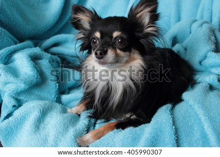 the dog is lying on a blue blanket