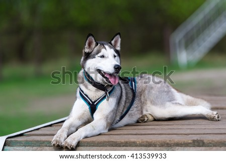 The dog wolf lies on the wooden bridge. Breed of a dog - Siberian huskies.