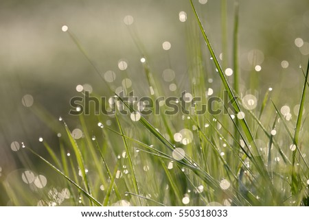 The drops of dew on the grass