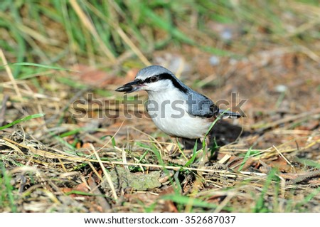 The Eurasian nuthatch or wood nuthatch is a small passerine bird found throughout temperate Asia and in Europe, where it is often referred to just as the nuthatch.