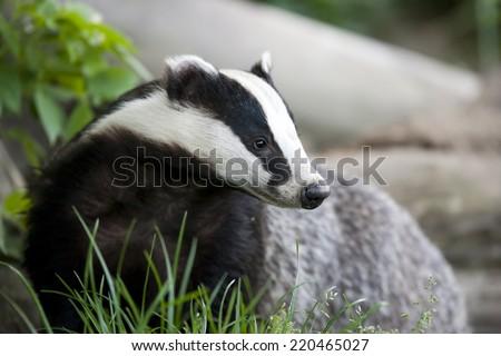 European Badger Called Eurasian Badger Or Stock Photo