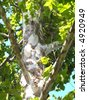 The exfoliating bark of the American Sycamore tree.  The rough gray-brown bark exfoliates to expose a white or cream colored bark beneath. - stock photo