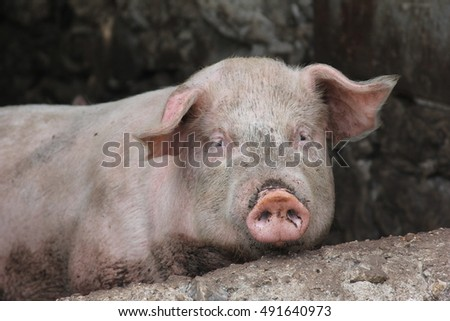 The face of a pig