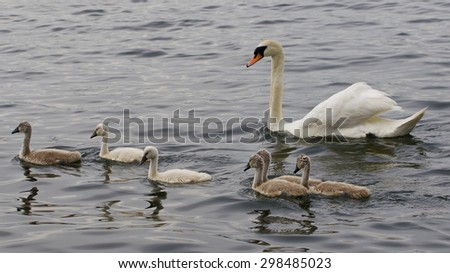 The family of the mute swans is swimming together in the lake
