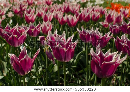 The field of violet tulips