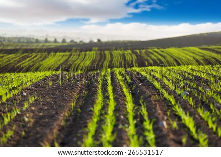 the field scenery with rising agricultural crops