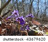 The first dark blue April spring flowers. The bee flies to a flower. Selective focus. - stock photo