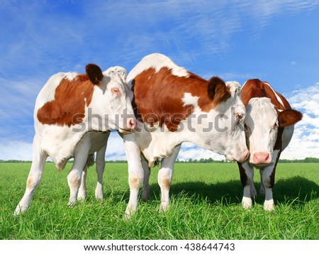 The flirting cows