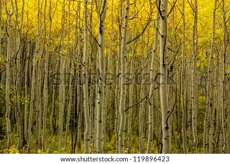 The glow of autumn aspens from the autumn sun/ Looking Through the Many Aspen