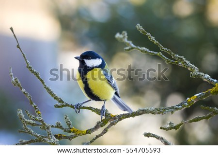 The great tit sitting on tree branch.