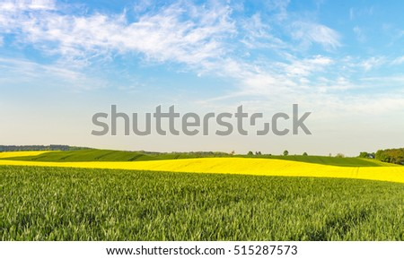 The green fields of young wheat on a spring field