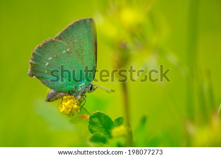 The Green Hairstreak, Callophrys rubi, is a small butterfly in the family Lycaenidae.