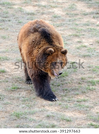 The Grizzly Bear, while on the California state flag, has been extirpated from the state and lives only in select areas in the United States including limited areas in the Rocky Mountains and Alaska
