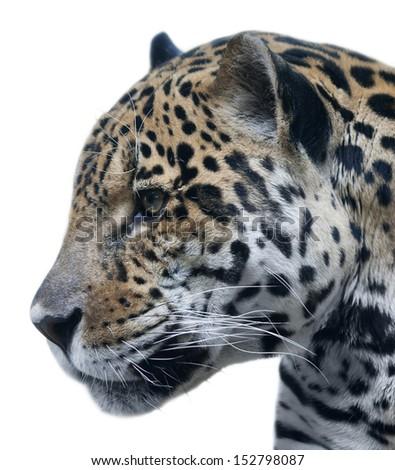 Snow leopard face side - photo#29