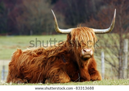 The Highland cow, an ancient Scottish breed of beef cattle.