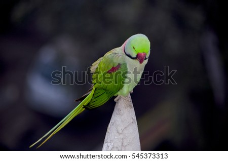 The Indian annulate parrot sits on a building spike