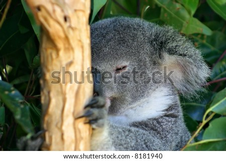 The Koala (Phascolarctos cinereus) is a thickset arboreal marsupial herbivore native to Australia
