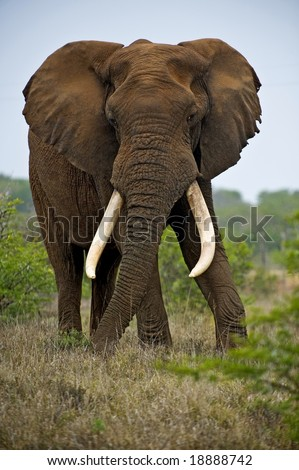 The Largest Bull Elephant at Addo Park looks angry towards the photographer