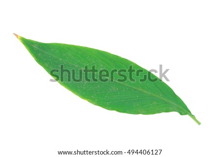 The leaves Lent flower white background. Lent is a flowering plant, flowers, in the genus Globba winitii C.H.Wright. Plants in the genus, each species has a large colorful petals