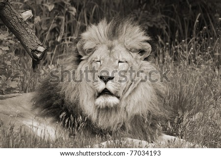 The lion is one of the four big cats in the genus Panthera, and a member of the family Felidae. With some males exceeding 250 kg in weight, it is the second-largest living cat after the tiger.
