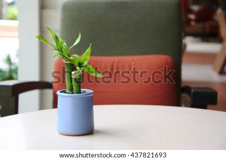 The little tree of Dracaena braunii in the blue ceramic pot on the wooden table with the chair background