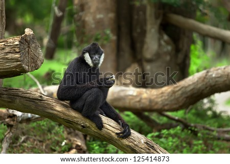 the male of monkey, of black color, sits on a tree in the wood