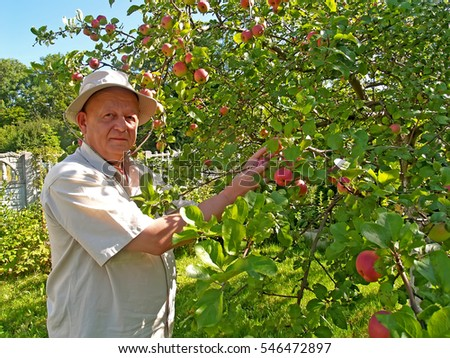 The man gathers apples on a garden site