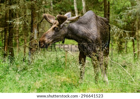 The moose, Alces alces, is the largest living deer. Male or bull grazing among the trees in forest. Velvet on antlers.