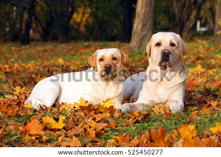 the nice two yellow labradors in the park in autumn close up