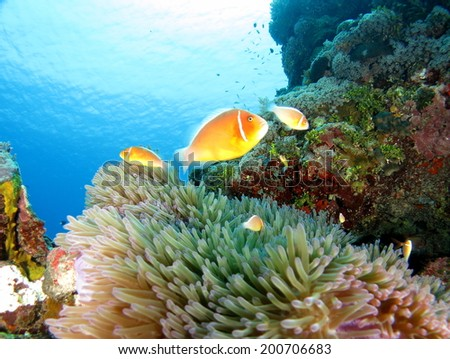 The orange Nemo, Anemone fish hiding and protecting its anemone coral, Micronesia, Yap, Pacific ocean