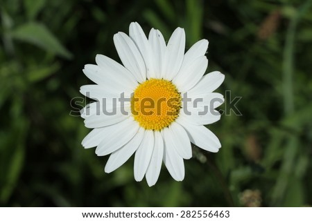 The Petals and Head of a Single Daisy Flower.