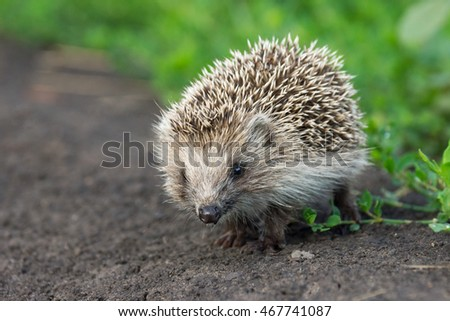 The photograph depicts a small hedgehog in the grass