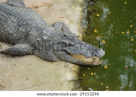 The phyket's largest crocodile farm
