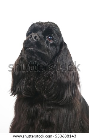 The portrait of a black American Cocker Spaniel dog sitting indoors on a white background